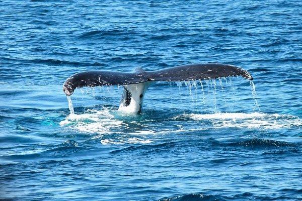 Les baleines de Lofoten